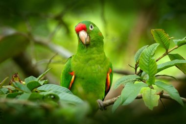 Bird in the habitat. Crimson-fronted Parakeet, Aratinga funschi, portrait of light green parrot with red head, Costa Rica. Wildlife scene from tropical nature.