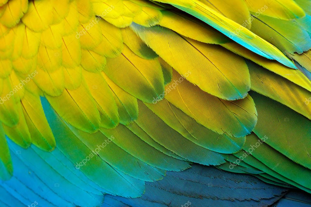 Close-up detail of parrot plumage. Green parrot Great-Green Macaw, Ara ambigua, detail of bird wing Wild nature in Costa Rica. Green, yellow and blue feathers.