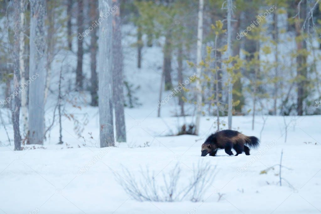 Wolverine in winter with snow. Running rare mammal in Finnish taiga. Wildlife scene from nature. Brown animal from north of Europe. Wild wolverine in snowy forest, Finland.