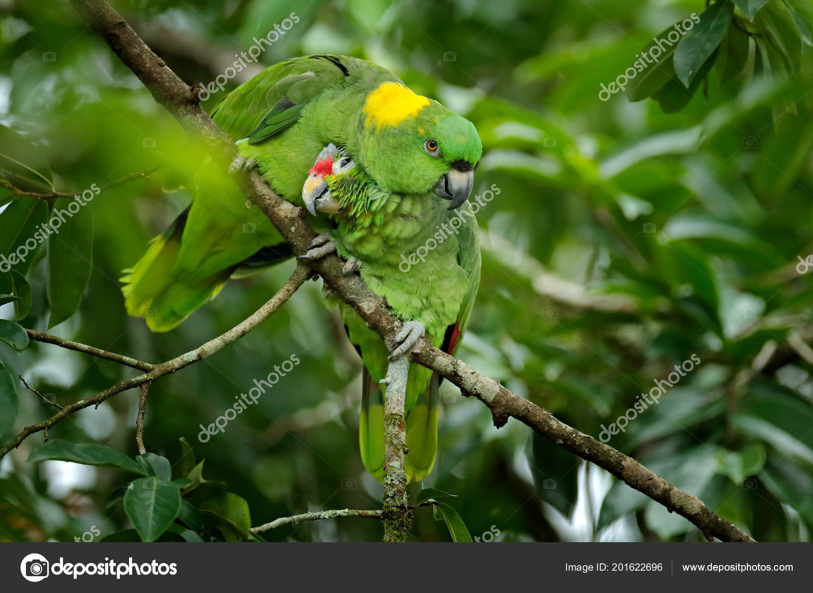 love two different species red lored parrot amazona autumnalis