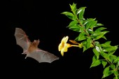 Photo Orange nectar bat, Lonchophylla robusta, flying bat in dark night. Nocturnal animal in flight with yellow feed flower. Wildlife action scene from tropic nature, Costa Rica.