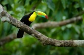 Photo Toucan sitting on the branch in the forest, green vegetation, Panama. Nature travel in central America. Keel-billed Toucan, Ramphastos sulfuratus, bird with big bill. Wildlife Panama.