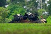 Fotografia Uccello grande avvoltoio re, Costa Rica, trovato in Sud America. Scena di fauna selvatica dalla natura tropicale. Condor con la testa rossa