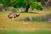 Fotografie Größere Rhea, Rhea Americana, großer Vogel mit flauschigen Federn, Tier in Natur Lebensraum, Abendsonne, Pantanal, Brasilien. Rhea auf dem Rasen Wiese. Tierwelt-Szene aus Brasilien. Vogel mit langem Hals
