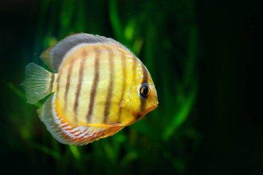 Symphysodon aequifasciatus, blue discus, fish in the water. Fish in the nature river habitat, green vegetation, Amazon, Brazil.