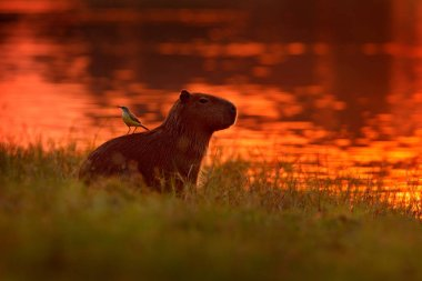 Capybara in the lake water with bird on the back. The biggest mouse around the world, Capybara, with evening light during orange sunset, Pantanal, Brazil. Funny image from wildlife nature.