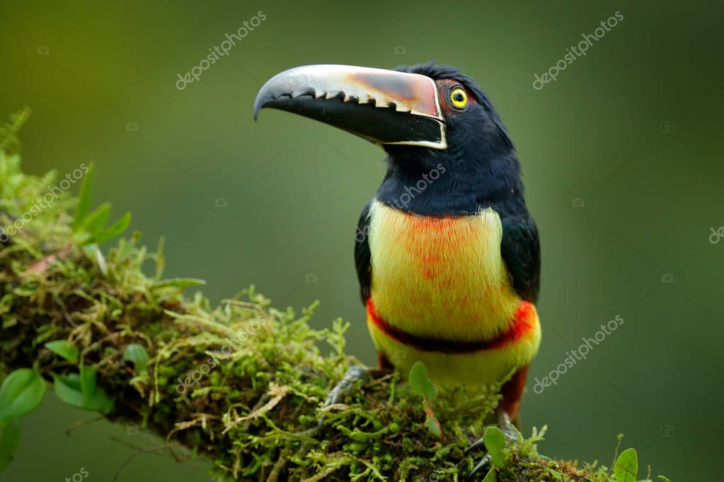 Toucan Collared Aracari, Pteroglossus torquatus, bird with big bill. Toucan sitting on the moss branch in the forest, Boca Tapada, Costa Rica. Nature travel in central America.