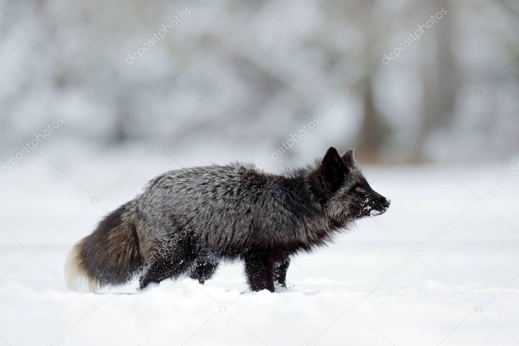 Black silver fox, rare form. Black animal in white snow. Winter scene with nice cute mammal.