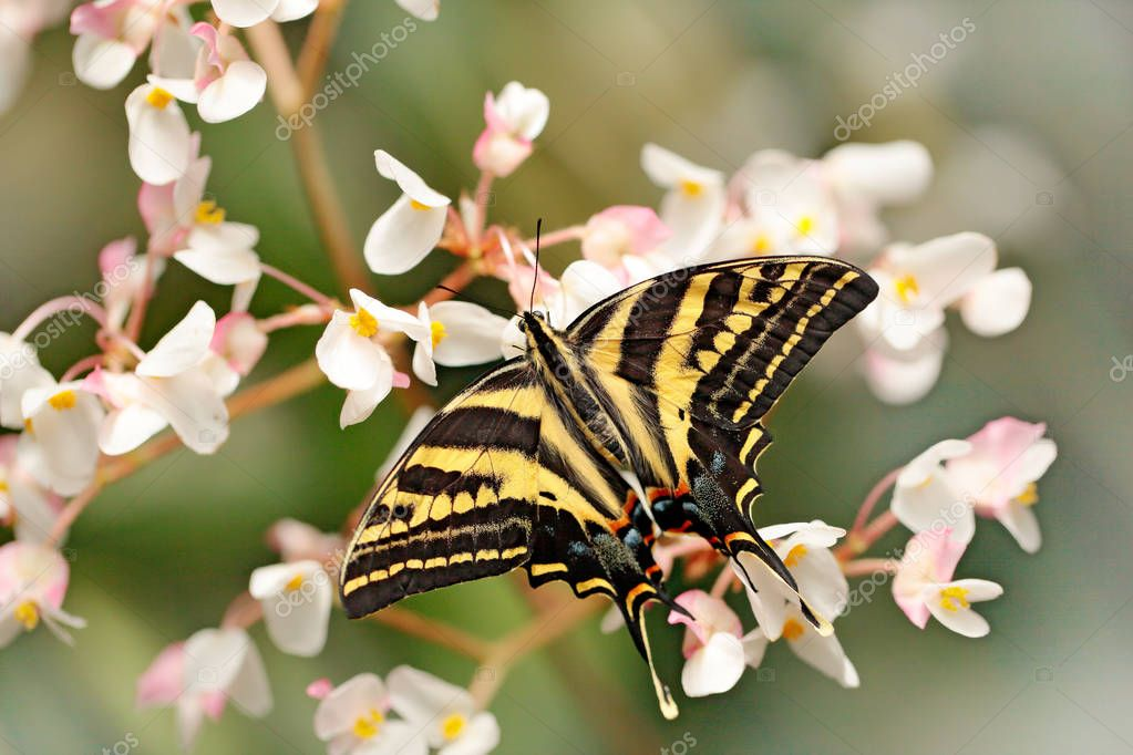 Butterfly sitting on the green leave. Butterfly Papilio pilumnus, in the nature green forest habitat, south of USA, Arizona.
