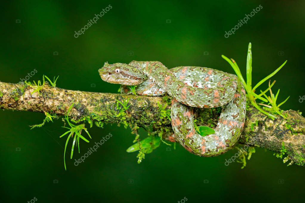 Eyelash Palm Pitviper, Bothriechis schlegeli, on the green mossy branch. Venomous snake in the nature habitat. Poisonous animal from South America.