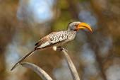 Southern Yellow-billed Hornbill, Tockus Leucomelas, Vogel mit großen Schein in der Natur Lebensraum mit Abendsonne, auf dem Ast in Hwange-Nationalpark, Simbabwe. Vogel sitzt auf Schädel Skelett
