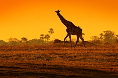 Idyllic giraffe silhouette with evening orange sunset light, Botswana, Africa. Animal in the nature habitat, with trees.
