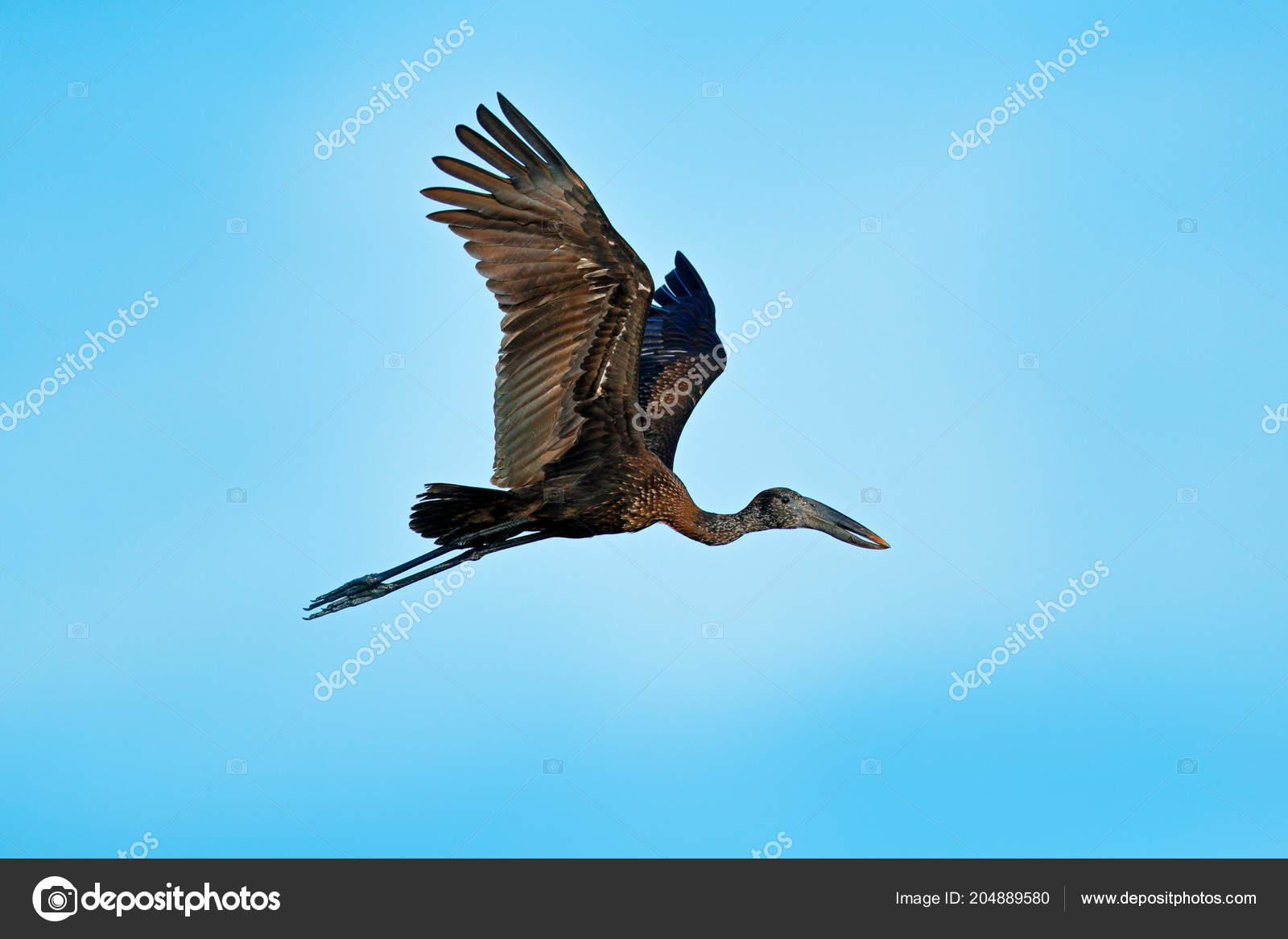 obrovské africké ptáky