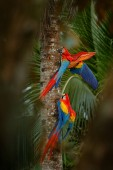 Červený papoušek ara arakanga, Ara macao, pták sedící na větvi, Brazílie. Přírodní scéna z tropického lesa. Krásný papoušek na strom freen strom v přírodě stanoviště