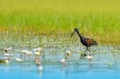 African Openbill, black large African stork. Bird with unusual bill useful to extract snails in typical wetland white flower environment. African bird photography,  Okavango delta, Botswana, Africa