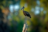 African Openbill, Anastomus lamelligerus, black large african stork. Bird with unusual bill useful to extract snails in typical wetland environment. African bird photography,  Okavango delta, Botswana, Africa