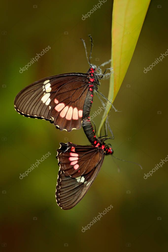 Common Mormon, Papilio polytes, beautiful butterfly from Costa Rica and Panama. Wildlife scene with insect from tropical forest. Two insect mating on the green leave.
