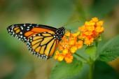 Fotografie Monarch, ty chtěl rody plexippus butterfly v přírodní stanoviště. Pěkný hmyz z Mexika. Motýl v zeleném lese. Detail detail portrét krásné oranžové hmyzu. Divoké scény z přírody