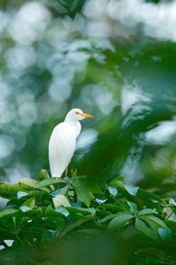 White heron in green vegetation, Costa Rica Cattle egret, Bubulcus ibis, in nature habitat, bird sitting on the tree.