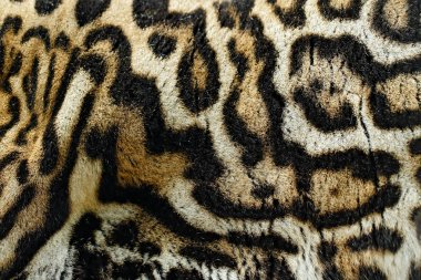 Detail close-up fur coat of wild cat. Wild cat from Costa Rica. Margay, Leopardis wiedii, beautiful cat sitting on the branch in the tropical forest, Central America. Wildlife scene from tropical nature.