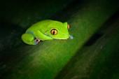 Agalychnis annae, Golden-eyed Tree Frog, rana verde e blu in congedo, Costa Rica. Scena di fauna selvatica da giungla tropicale. Anfibio di foresta nellhabitat naturale. Sfondo scuro.