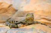 Australský vodní drak, Physignathus lesueurii, ještěrka z Austrálie. Plaz v rock stanoviště, tvář portrét. Zvíře, sedí na kameni. Volně žijících živočichů v přírodě