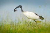 Pták ve vodě tráva s velkým hmyzem v kusovníku. Přírodní scéna z Okavango delta, Botswana. Ibis posvátný, Threskiornis aethiopicus, bílý pták s černou hlavou. Ibis krmení jídlo v jezeře