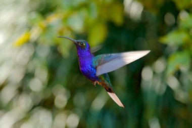Flying big blue Hummingbird Violet Sabrewing with blurred dark green flower in background. Beautiful light in the tropic forest with bird. Action wildlife scene from nature.