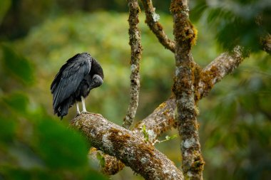 Vulture sitting on the tree in Costa Rica tropic forest. Ugly black bird Black Vulture, Coragyps atratus, bird in the habitat. Wildlife scene from nature.