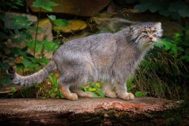 Manul or  Pallas's cat, Otocolobus manul, cute wild cat from Asia. Wildlife scene from the nature. Animal in the nature habitat, forest in Nepal.