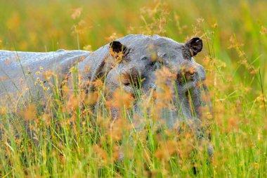 Hippo in the grass, wet green season. African Hippopotamus, Hippopotamus amphibius capensis, , Okavango delta, Moremi, Botswana. Dangerous big animal in the water.