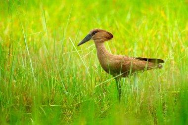 Hamerkop, Scopus umbretta, in the green grass. wet season in Africa. Brown bird in the nature habitat. Wildlife scene from Moremi, Okavango delta, Africa.