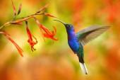 Volně žijících živočichů v Kostarice. Velký modrý kolibřík Violet Sabrewing létající vedle krásné červený květ s jasně zelená oranžová lesem v pozadí. Plechový ptáček létat v džungli
