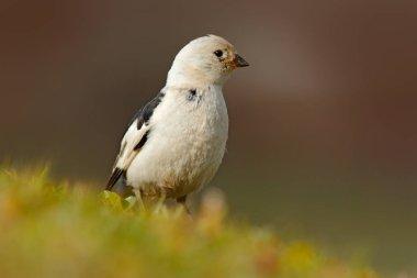 Snow bunting, Plectrophenax nivalis, passerine bird from family Calcariidae, Arctic specialist from Svalbard, Norway. Bird in the grass, nature habitat. Wildlife scene from nature.