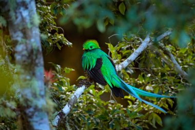 Resplendent Quetzal, Tapanti NP in Costa Rica, with green forest in background. Magnificent sacred green and red bird. Detail portrait of beautiful tropic animal. Bird with long tail.