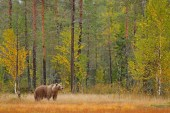 Bear hidden in yellow forest with tall trees