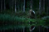 Fotografie Medvěd hnědý skrytý za kmen stromu v temném lese