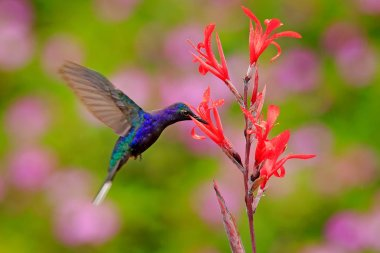 Big blue hummingbird Violet Sabrewing flying next to beautiful red flower with clear green forest nature in background.