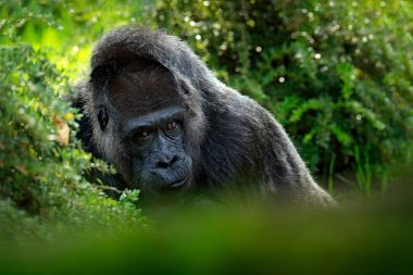 detail head portrait of big black monkey with beautiful eyes, Gabon, Africa.