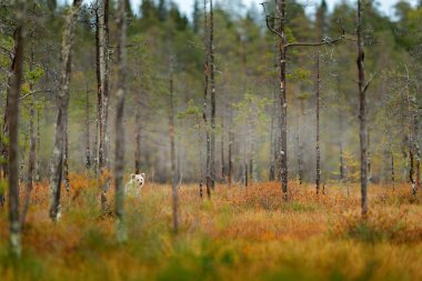 Lonely young bear in pine foggy forest habitat