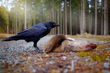 Raven with dead European Roe Deer on forest road