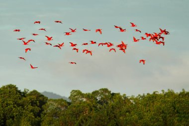 Flock of red ibises flying on dark green trees and blue sky background, Caroni Swamp, Trinidad and Tobago, Caribbean.