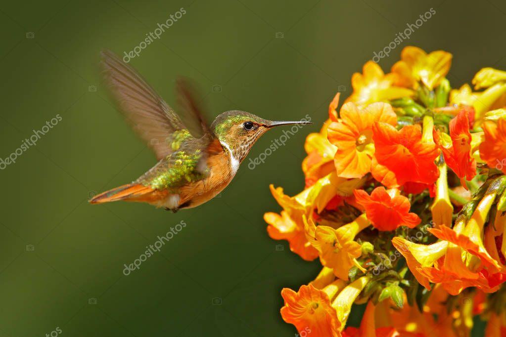 Volcano Hummingbird ready to sucking nectar from bloom