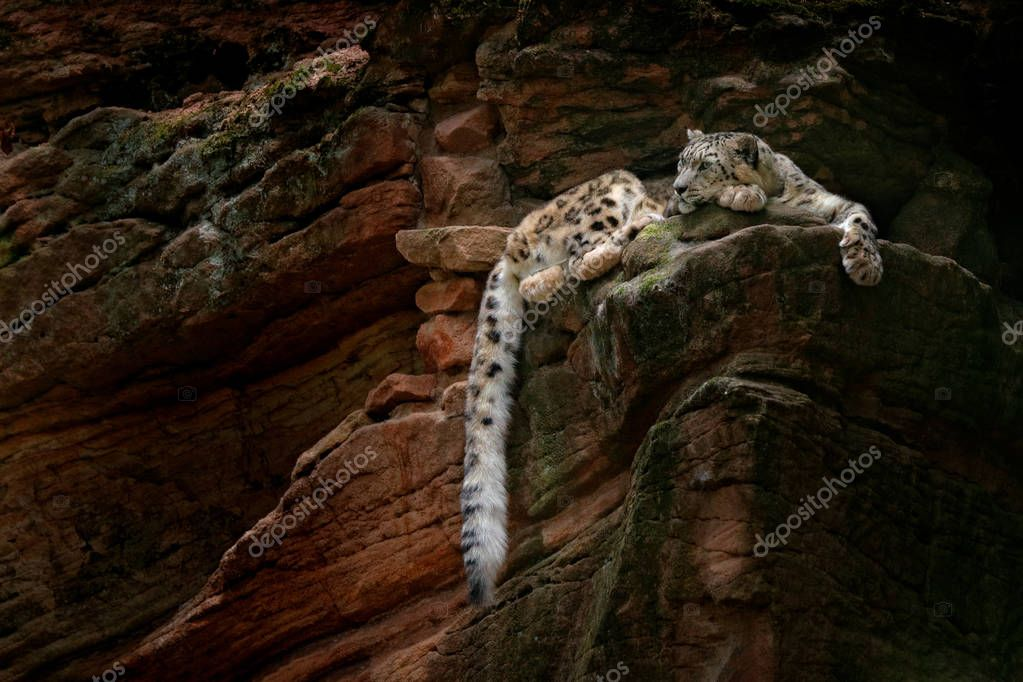 Snow leopard with long tail in the dark rock mountain, Hemis National Park, Kashmir, India.