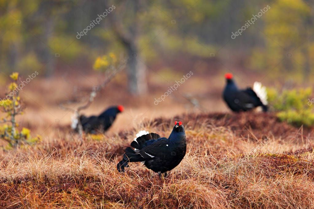 Black grouses with red crest walking on meadow