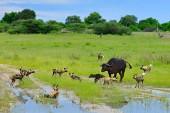 Wildhundejagd in Botswana, Büffelkuh und Kalb mit Raubtier. Wildszene aus Afrika, Moremi, Okavango Delta. Tierverhalten, Rudelstolz afrikanischer Wildhunde Angriff auf Kalb.