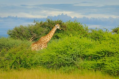 Giraffe, green vegetation with animal. Wildlife scene from nature, Okavango, Botswana, Africa. Giraffe, between the trees, blue sky.