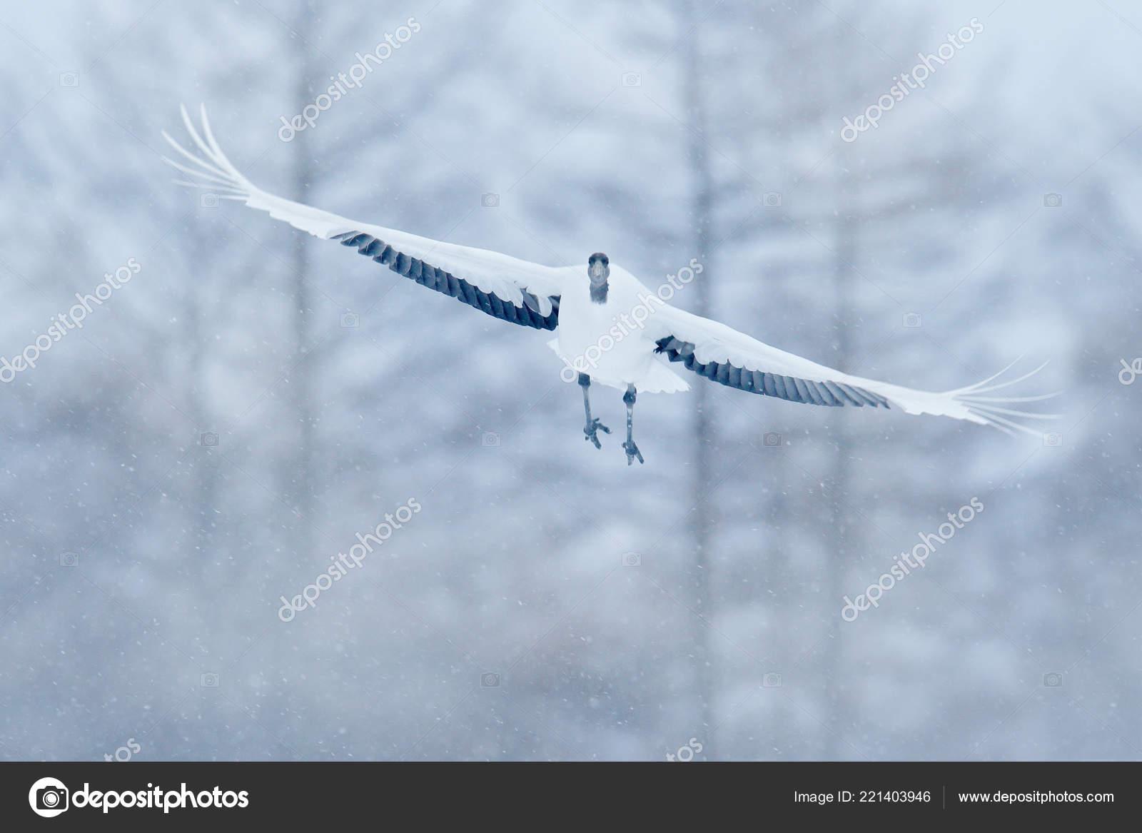 μεγάλο λευκό πουλί φωτογραφίες
