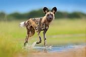 Volně žijících živočichů ze Zambie, Mana bazény. Africký divoký pes, chůze ve vodě na silnici. Lovecké malované psa s velkýma ušima, krásné divoké zvíře. Safari v Africe. Divoký pes tvář portrét.