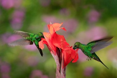 Nice hummingbird Green-crowned Brilliant , Heliodoxa jacula, flying next to beautiful orange flower with ping flowers in the background, La Paz, Costa Rica.